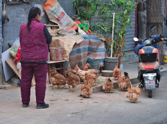 Beijing Street Scene, Woman Feeding Chicken In An Old Hutong Street