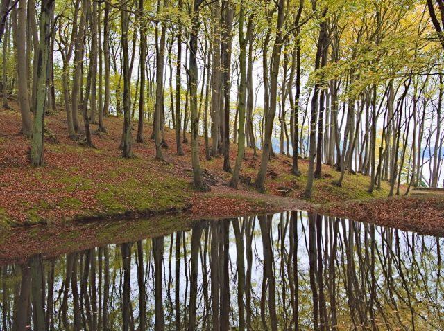 Rügen Island Beech Forest