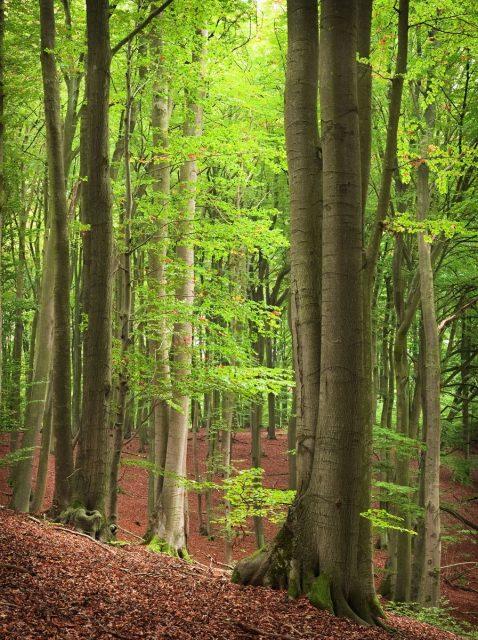 Barnim Biesenthal Hellsee Beech Forest