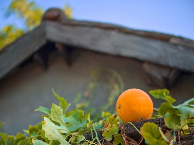 Beijing Nangua, Pumpkin