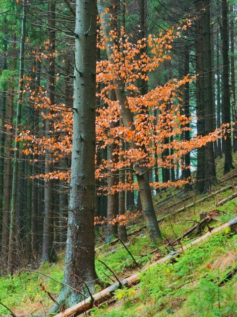Spruce Tree Woods, Goslar, Harz Mountains